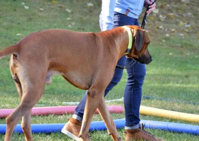 Leinenführigkeitstraining Zufriedene Hunde