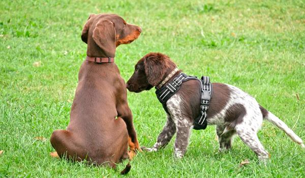 Welpenspielgruppe in der Hundeschule Zufriedene Hunde in Emmerich