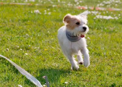 Longieren Zufriedene Hunde