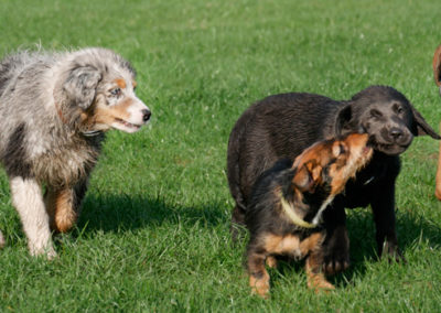 welpenspielgruppe Hundeschule Zufriedene Hunde