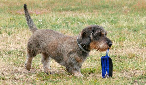 Apportieren in der Hundeschule Zufriedene Hunde